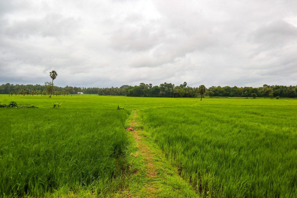 Kerala paddy field